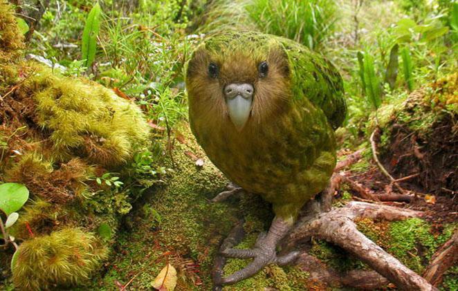 Genetische factor mogelijk oorzaak dood kakapo